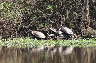Taken with my Bigma Lens. Taking a Sunbath. This is just 4 of the many Turtles in my Pond.