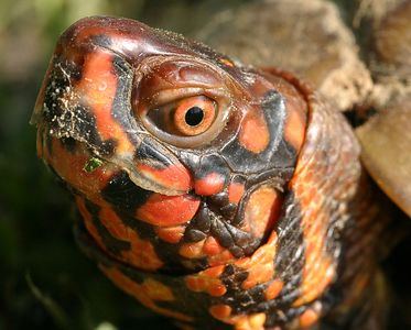 Taken with my Sigma 150 f/2.8 Macro Lens.   Head of a small Box Turtle. Nice colors for a Turtle. Haha1