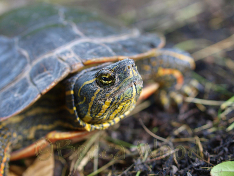 CP 09AU7203<br /> <br /> Red and yellow painted turtle.
