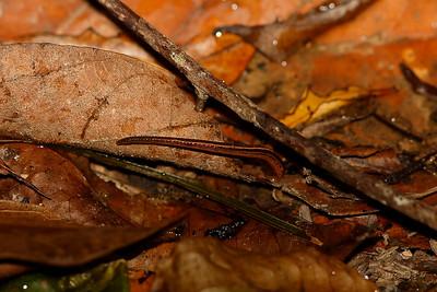 Australian Land Leech