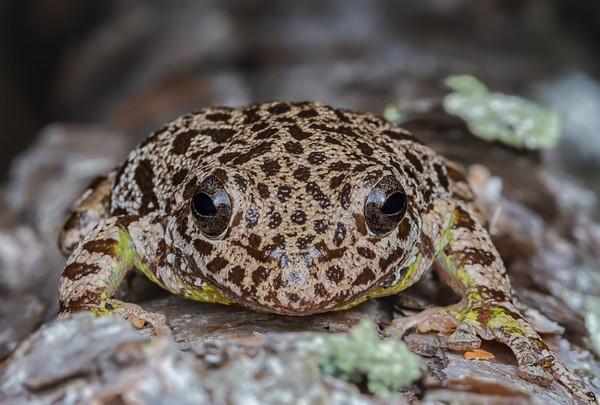 Barking treefrog