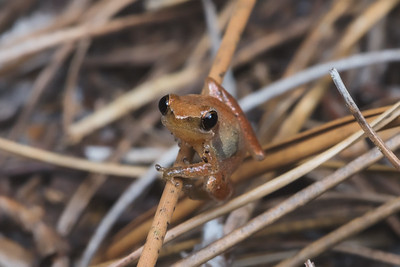 Little grass frog