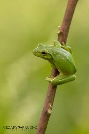 Dryophytes cinereus (American Green Tree Frog)