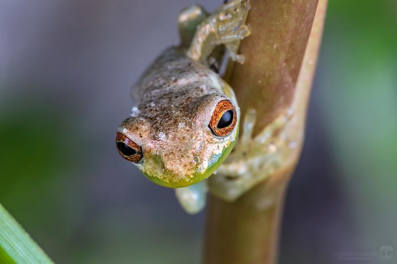 Small Cuban treefrog