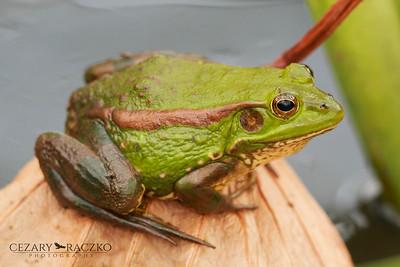 Pelophylax plancyi (Eastern Golden Frog)