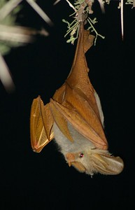 Yellow-winged bat (Lavia frons) This is one of five species of false vampire bat (family Megadermatidae) from Africa.   Tanzania.