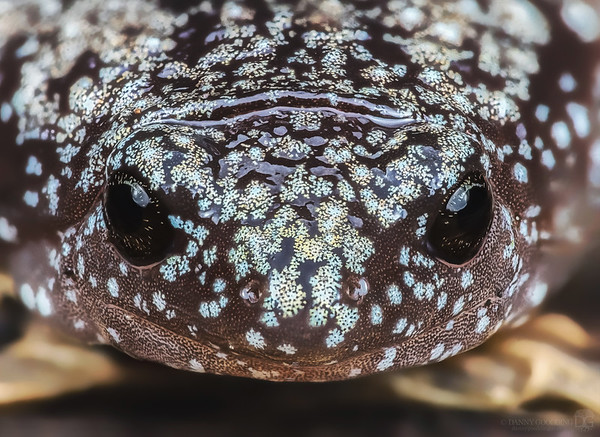 Eastern narrow-mouthed toad