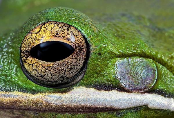 Green treefrog closeup