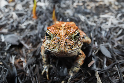Southern toad after a fire