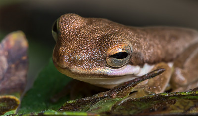 Green treefrog with brown coloration