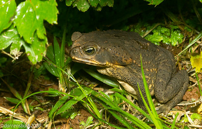 A large toad from Panama.