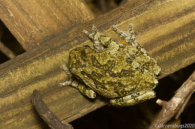 This large tree frog (Dryophytes sp.) was an exciting surprise at the moth light a few nights ago. Their songs are not uncommon to hear in Iowa, but I can only recall seeing one other tree frog of this size here before.