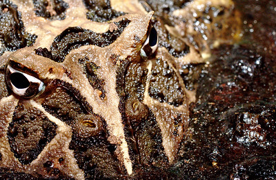 Ceratophrys ornata