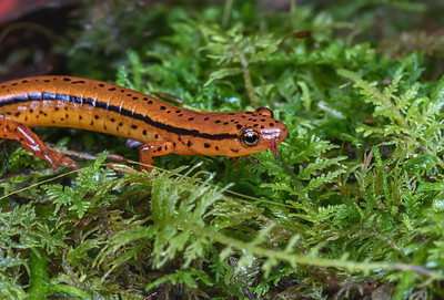 Salamander in north Georgia