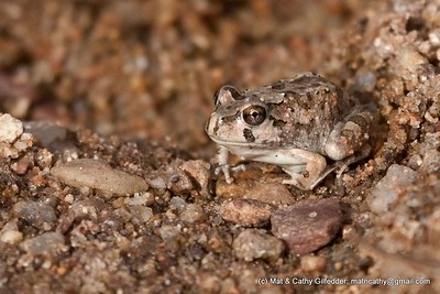 Spencer's Burrowing Frog