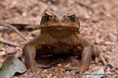 Cane Toad 3318