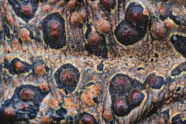 Southern toad dorsal macro