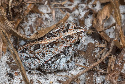 Oak toad blending in well with its sandy habitat