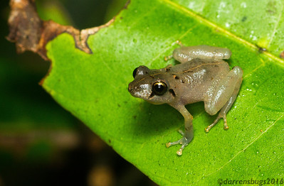 Tree frog from Panama.