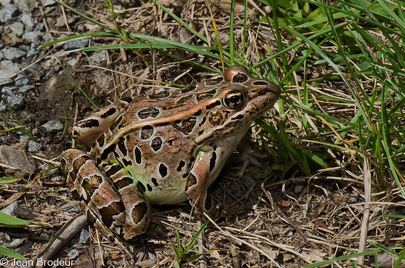 Grenouille leopard femelle, Northern leopard frog, Lithobates  pipiens, 7584,<br /> Parc de la Riviere-aux-Pins,Boucherville, Quebec, 18 aout 2010