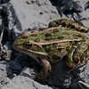 Grenouille leopard femelle, Northern leopard frog, Lithobates  pipiens, 5263, <br /> Boisé du Tremblay,Longueuil,Quebec, 7 septembre 2009