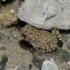 Jeune crapaud d'Amérique, Eastern american Toad, Bufo americanus americanus<br /> 5215, St-Hugues,Quebec,9 juillet 2013