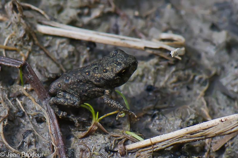 Jeune crapaud d'Amérique, Eastern american Toad, Bufo americanus americanus,<br /> 8340,Boisé du Tremblay, Longueuil,Québec, 2 juillet 2010