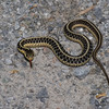 Couleuvre rayée, Common garter snake, Thamnophie sirtalis, Natricinae, Colubridae<br />  4124, St-Hyacinthe, Quebec,  3 juin 2014