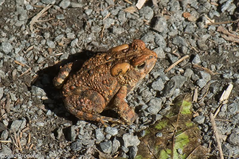 Crapaud d'Amérique, Eastern american Toad, Anaxyrus americanus (Bufo americanus americanus)<br /> 0509, Parc de la Frayère, Longueuil, Quebec, 20 septembre 2013