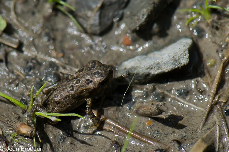 Jeune crapaud d'Amérique, Eastern american Toad,  Anaxyrus americanus (Bufo americanus americanus), Bufonidae, Anura<br /> 8356, Boisé du Tremblay, Longueuil, Québec,2 juillet 2010