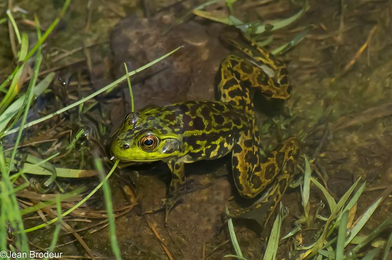 Grenouille du Nord, Mink Frog, Lithobates (Rana) septentrionalis, Ranidae<br /> 1852, Marais Réal-D.-Carbonneau,  Sherbrooke, Quebec, 30 mai 2013