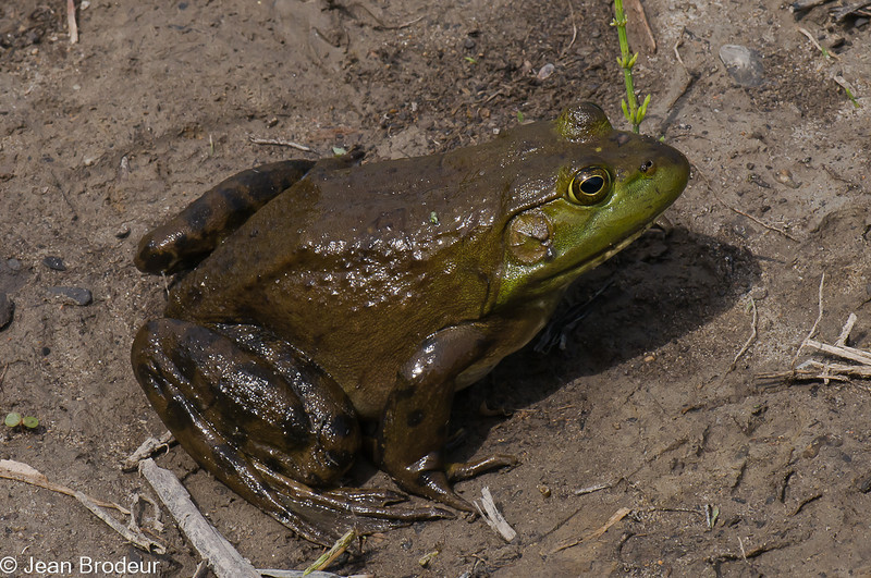 Ouaouaron femelle, American Bullfrog, Lithobates catesbeiana, Ranidae, Anura<br /> 5948, St-Hugues,Québec, 2 juin 2010