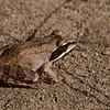 Jeune grenouille des bois, Lithobates sylvaticus, Wood frog, Ranidae<br /> 5960, St-Hugues,Québec, 16 septembre 2008