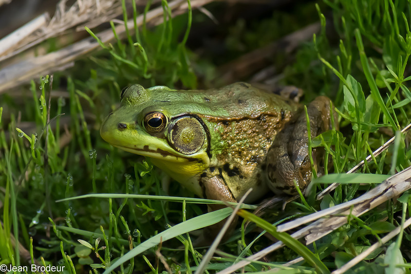 Grenouille verte male,Northern Green Frog,  Lithobates clamitans melanota<br /> 1974, St-Hugues, Quebec, 31 mai 2013