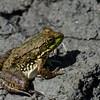 Jeune grenouille verte femelle,Northern Green Frog, Lithobates  clamitans melanota<br /> 8385, St-Hugues ,Québec, 2 juillet 2010