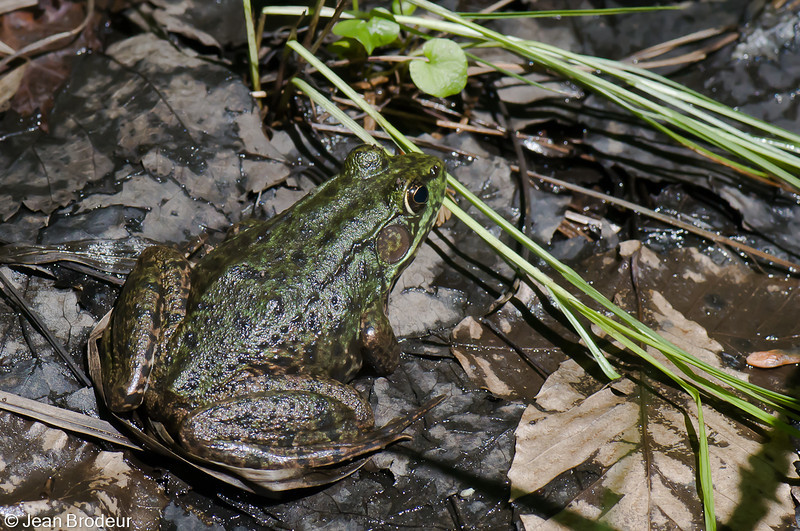 Grenouille verte femelle, Northern Green Frog, Lithobates clamitans melanota<br /> 7480, St-Hugues , Québec, 5 juin 2009