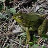 Grenouille verte femelle, Northern Green Frog, Lithobates clamitans melanota<br /> 2685, Boisé du Tremblay, Lougueuil ,Québec, 30 avril 2010