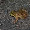 Grenouille verte femelle, Northern Green Frog, Lithobates  clamitans melanota<br /> 6737, Saint-Hippolyte, Quebec, 8 juillet 2018