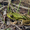Jeune grenouille verte femelle,Northern Green Frog, Lithobates  clamitans melanota<br /> 2681, Boisé du tremblay, Longueuil, Québec,30 avril 2010