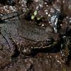 Grenouille verte femelle, Northern Green Frog, Lithobates  clamitans melanota<br /> 141, St-Hugues ,Québec,13 mai 2009