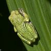 Rainette versicolore, Gray Treefrog, Hyla versicolor, Hylinae, Hylidae, Neobatrachia, Anura<br /> 2818, St-Hugues,Québec, 17 mai 2010