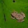 Rainette crucifere du Nord male, Pseudacris crucifer crucifer,Northern spring peeper , Hylinae, Hylidae, Neobatrachia, Anura<br /> 8107, Granby, Quebec, 15 juillet 2016