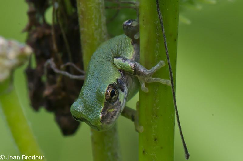 Rainette versicolore, Gray Treefrog, Hyla versicolor,<br /> 1609, St-Hugues, Québec,29 juillet 2010