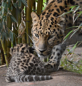 Amur Leopard Twin Cubs & Mother
