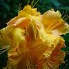 golden azalea