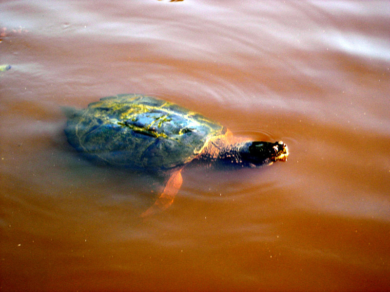 """There are a LOT of turtles and some very big ones at that hanging out in the lake behind the """"Best of the West"""" grill!"""