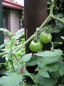 The tomatoes growing under the Portofino sign were still green!