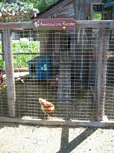 There is a chicken pen outside Magic Seed, with live chickens.