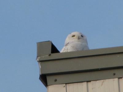 Hanger snowy owl 3 Danny Favreau IMG_0516