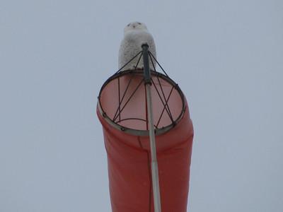 hanger snowy owl 5 Danny favreau IMG_1880